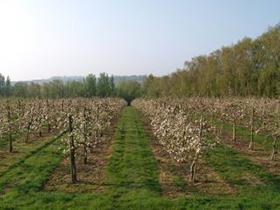 Lower Millfield – Russets blossom Spring 2009.