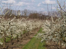 Bowhay – Victoria Plums in bloom – Spring 2009.